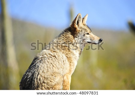 A lone coyote observing his territory