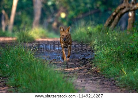 A lone dhole (wild dog) separated from the pack #1149216287
