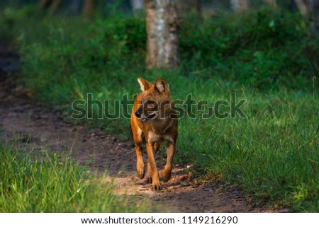 A lone dhole (wild dog) separated from the pack #1149216290