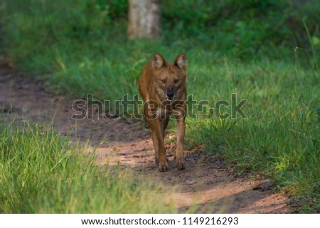A lone dhole (wild dog) separated from the pack #1149216293