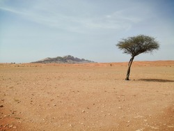 A lone Ghaf tree (Prosopis cineraria) stands sentinel in dry desert sand dunes of Sharjah, United Arab Emirates. The drought resistant evergreen tree fights desertification in the Arabian Gulf region.