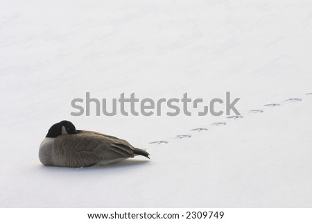 a lone goose resting on snow