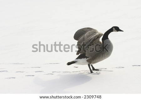 a lone goose spreading wings on snow - stock photo
