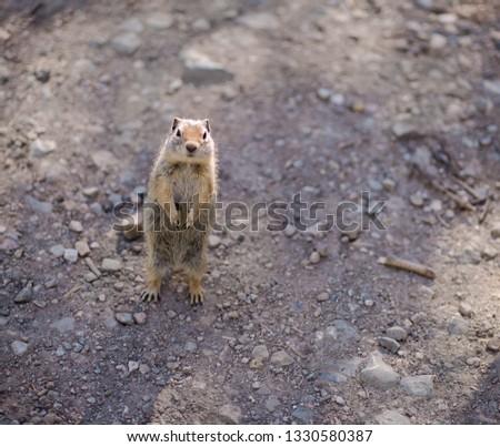 A lone gopher on a hiking trail in Utah.