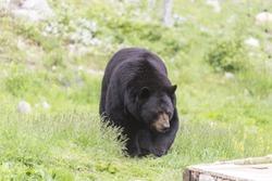 A lone, large black bear