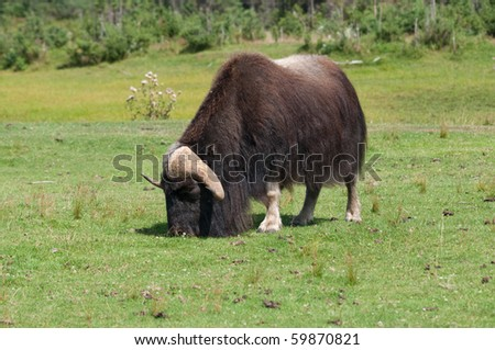 a lone muskox grazes in summer