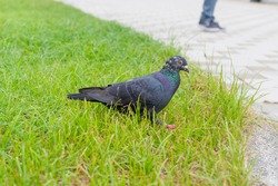 A lone pigeon walking in the grass