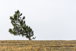 A lone pine tree grows on top of a mountain. Natural minimalism in restrained shades. Neutral atmospheric minimalist landscape with a curved tree on the horizon. Natural background with copy space