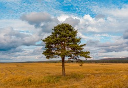 A lone pine tree in a field with a bright blue sky