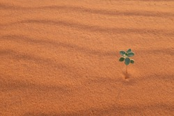 A lone plant on a desert landscape in Riyadh, Saudi Arabia. Isolation and adaptation.