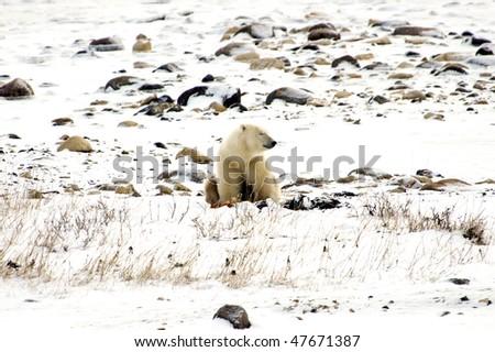 A lone polar bear napping on the tundra