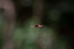 A lone red bodied dragonfly perched on a single branch with out of focus forest back ground.