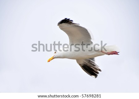 A lone seagull in flight over the Pacific Ocean