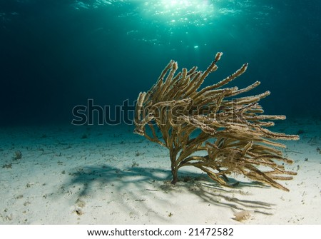 A lone soft coral swaying in the current on the ocean floor with the sun shining through the surface.