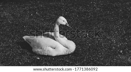 A lone Swan lies in the mud. Black and white portrait of a wild bird