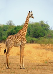A lone Thornicroft Giraffe standing alone on the open plains in South Luangwa National Park, Zambia