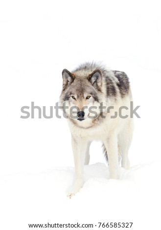 Stock Photo A lone Timber Wolf or Grey Wolf (Canis lupus) isolated on white background walking in the winter snow in Canada