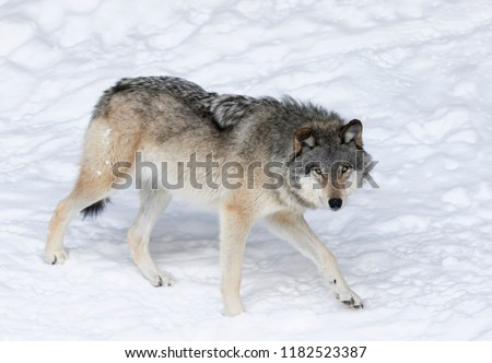 A lone Timber Wolf or Grey Wolf Canis lupus isolated on white background walking in the winter snow in Canada #1182523387