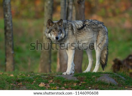 A lone Timber wolf or Grey Wolf Canis lupus on top of a rock looks back on an autumn day in Canada #1146090608