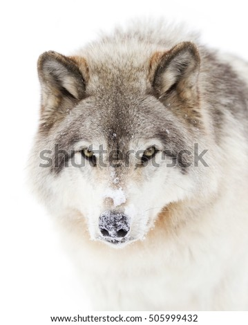 A lone Timber wolf or Grey Wolf (Canis lupus) portrait closeup with snow on his nose in the winter snow in Canada