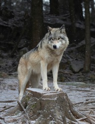 A lone Timber wolf or Grey Wolf Canis lupus portrait standing on a tree stump in the winter snow in Canada