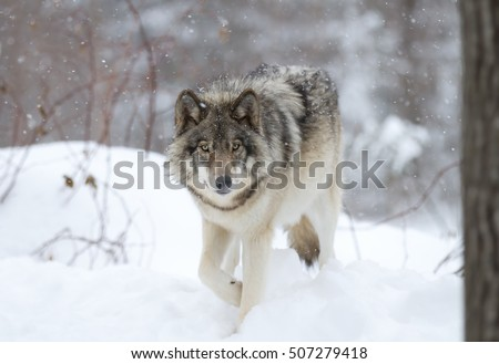 Stock Photo A lone Timber wolf or Grey Wolf (Canis lupus) walking in the falling winter snow in Canada