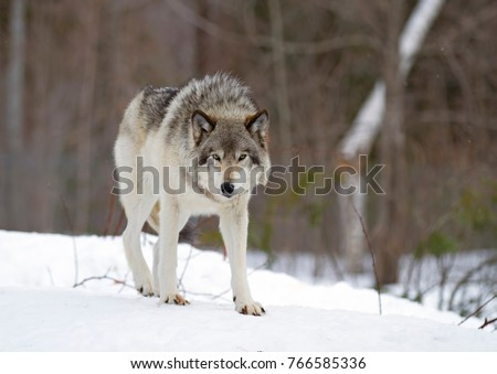 A lone Timber Wolf or Grey Wolf Canis lupus walking in the winter snow in Canada