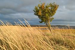 A lone tree in windy weather in a Nordic island Hailuoto in Northern Finland