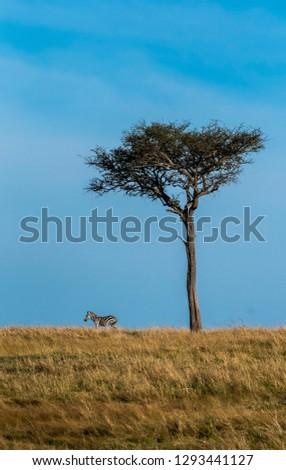 A lone zebra and lone acacia tree in plains of masai mara national reserve during a widlife safari