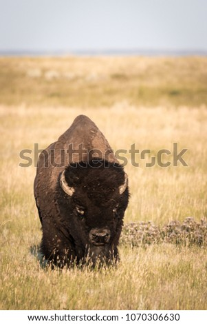 A lonely adult Bison bull (Bison bison) on the open prairies of Saskatchewan.