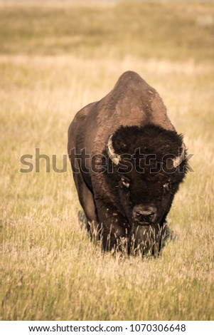 A lonely adult Bison bull (Bison bison) on the prairies of Saskatchewan in the Grasslands national park.
