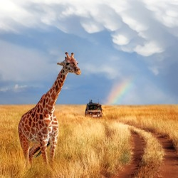 A lonely beautiful giraffe in the hot African savanna against the blue sky with a rainbow. Serengeti National Park. Tanzania. Wildlife of Africa. Square format.