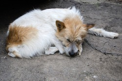 A lonely dog sleeps and is tied to a chain. The dog is rescued from poor living conditions and is a symbol of animal rights.