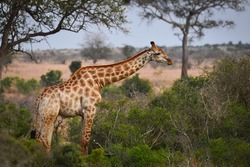 A lonely giraffe feeding in the woodlands of southern Kruger National Park, South Africa
