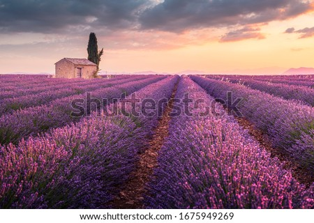 A lonely house into lavender fields near Valensole, Provence, France Stock photo ©