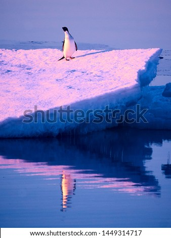 A lonely Penguin at midnight in Antarctica