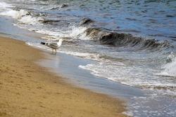 A lonely seagull walks along seashore. Waves run over sandy beach. Selective focus. Copy space.