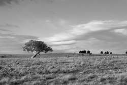 A lonely tree in the foreground of an Australian rural property.  Flat terrain enables the viewing of distant trees on the horizon and the distant clouds against a blue sky.