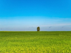 A lonely tree on a green winter field. Lonely tree. Farm field of winter crops. Agriculture. Farming. Blue sky. Sunny day. Horizon. Natural landscape. Background image. Place for text. Poster.