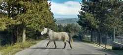 A lonely white-grey colour horse crossing a country street