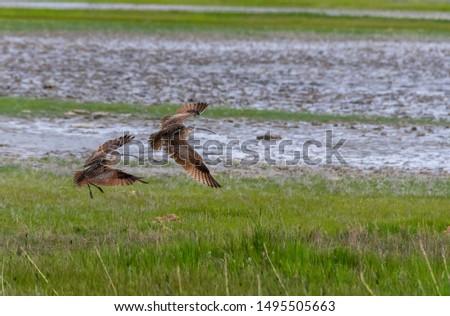 A long billed curlew pair flying inside bear river migratory birds wildlife refuge in the northern part of Utah