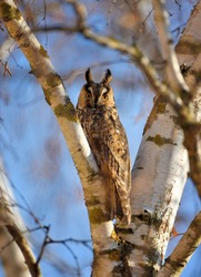 A Long-eared Owl (Asio otus) sitting on a tree against the blue sky. Sunny day