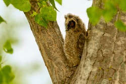 A long-eared owl young bird on the tree.