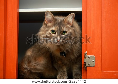 A long haired cat in a red kitchen cabinet. - stock photo