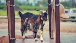 A long haired goat standing on a platform