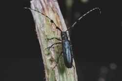 A long horn beetle on a trunk