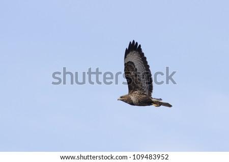 A long-legged buzzard in the sky