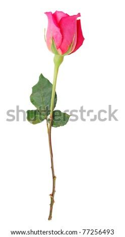 A long stem rose bloom