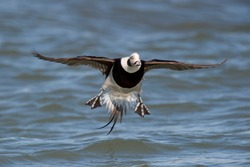 A Long-tailed Duck flares its feet and tail as it comes in to land in the blue water on a bright sunny day.