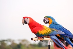a long-tailed macaw parrot with colorful feathers. Beautiful macore Parrot bird parrot standing on a wooden rail asia thailand.has a background of nature Soft focus with blurred background.